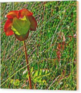 Northern Pitcher Plant In French Mountain Bog In Cape Breton Highlands-nova Scotia  Wood Print