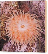 Northern Red Anemone Wood Print