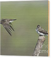Northern Rough-winged Swallows Wood Print