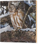 Northern Saw-whet Owl.. Wood Print