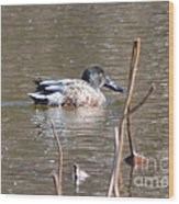 Northern Shoveler Duck  Wood Print