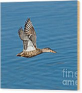 Northern Shoveler In Flight Wood Print