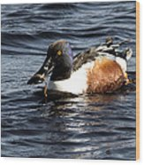 Northern Shoveler Wood Print