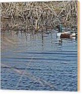 Northern Shoveler Swim Wood Print