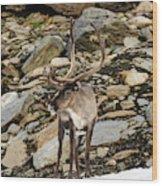 Norway, Troms Male Reindeer (rangifer Wood Print