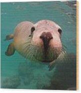 Nosey Sea Lion Wood Print