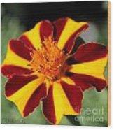 Novelty French Marigold Named Mr. Majestic Wood Print