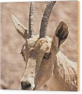 Nubian Ibex Capra Ibex Nubiana 1 Wood Print