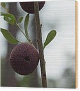 Oak Galls Wood Print