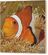 Ocellaris Clown Fish No 1 Wood Print