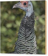 Ocellated Turkey Hen Wood Print