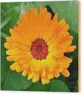 October's Summer Sunlit Marigold  Wood Print