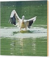Oil Painting - Pelican Flapping Its Wings Wood Print