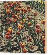 Oil Painting - Red And Yellow Tulips Inside The Tulip Garden In Srinagar Wood Print