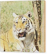 Oil Painting - An Alert Tiger Wood Print