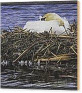 Oil Painting Nesting Swan Michigan Wood Print