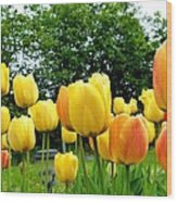 Okanagan Valley Tulips Wood Print