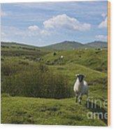 Okehampton Sheep  Wood Print
