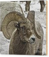 Old Big Horn Sheep Wood Print