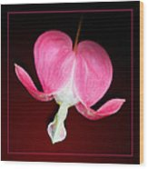 Old-fashioned Bleeding Heart Flower Wood Print