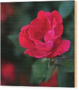Old Fashioned Rose Wood Print