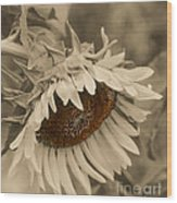 Old Fashioned Sunflower Wood Print