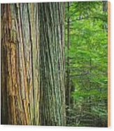 Old Growth Cedars Glacier National Park Painted Wood Print by Rich Franco