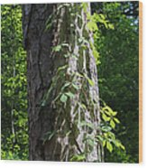 Old Growth  Loblolly Pine - Congaree Swamp Wood Print