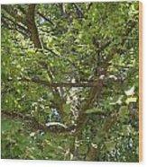 Old Linden Tree Wood Print