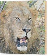 A  Lion Talks Wood Print