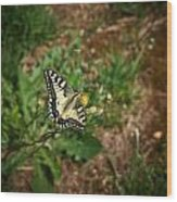Old World Swallowtail. Montorfano. Cologne Wood Print