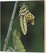 Oldworld Swallowtail Butterfly Wood Print