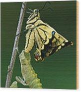 Oldworld Swallowtail Emerging Wood Print