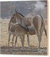 Onager Equus Hemionus 2 Wood Print
