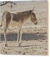 Onager Equus Hemionus Wood Print