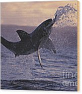 One Great White Shark Jumping Out Of Ocean In An Attack At Dusk Wood Print by Brandon Cole
