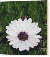One Hit Wonder Gerbera Daisy Wood Print