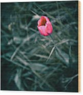 One Single Pink Tulip  Wood Print