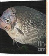 One Strange Fish Wood Print