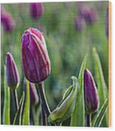 One Tulip Among Many Wood Print