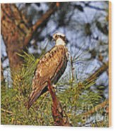 Opulent Osprey Wood Print by Al Powell Photography USA