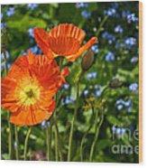 Orange And Blue - Beautiful Spring Orange Poppy Flowers In Bloom. Wood Print