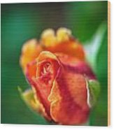 Orange And Fuschia Rosebud Wood Print