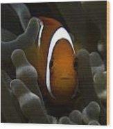 Orange Anemone Fish In Pale Anemone Wood Print