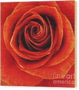 Orange Apricot Rose Macro With Oil Painting Effect Wood Print