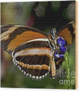 Orange Banded Butterfly Wood Print