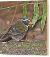 Orange-billed Sparrow Wood Print