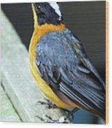 Orange Breasted Bird Portrait Wood Print
