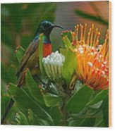 Orange-breasted Sunbird II Wood Print