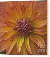 Orange Dahlia Blossom Wood Print